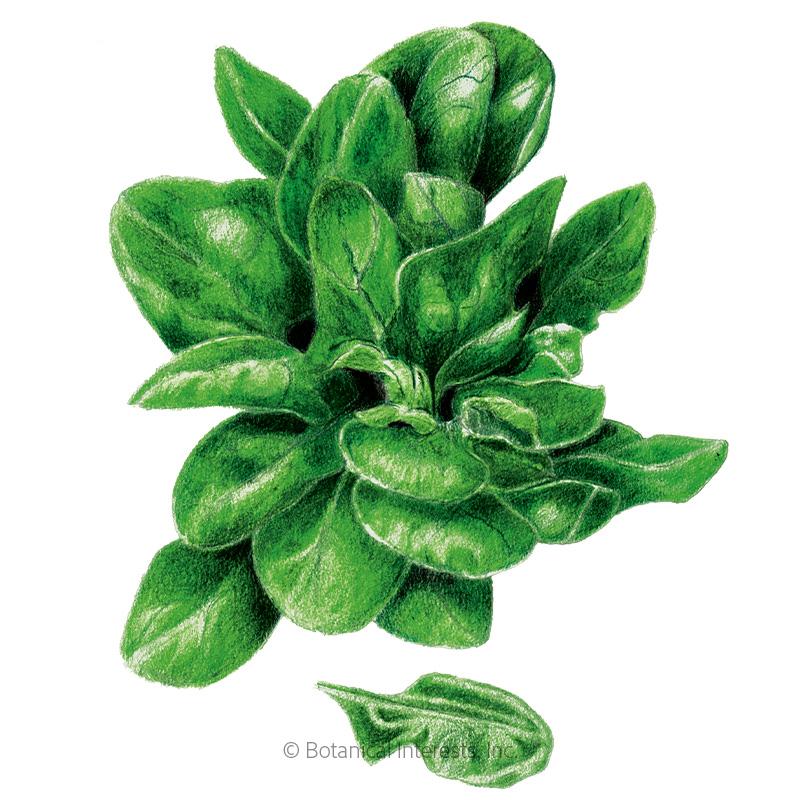 Matador Spinach Seeds