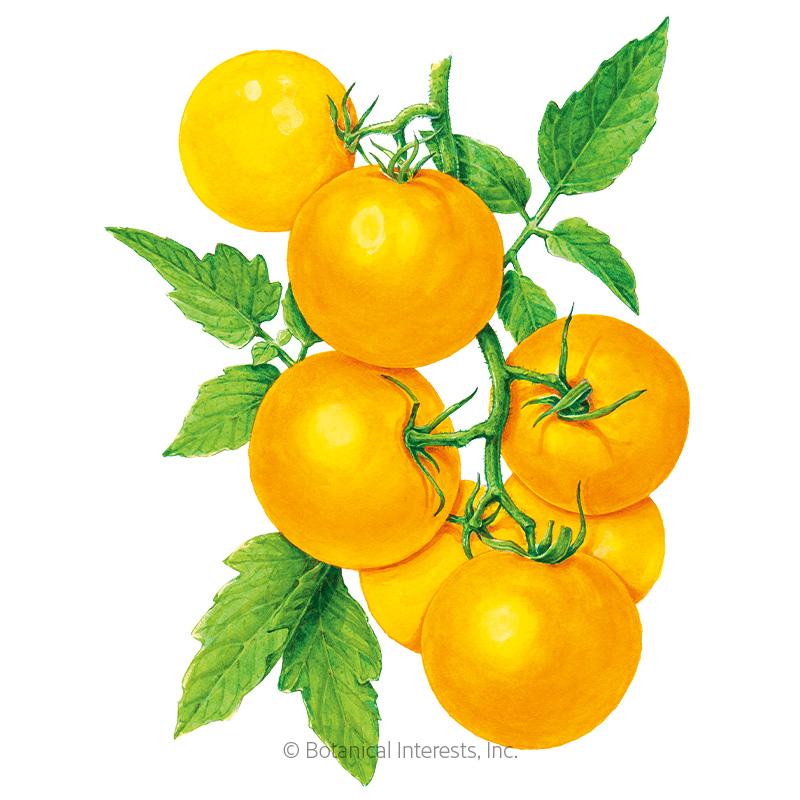 Golden Jubilee Pole Tomato Seeds