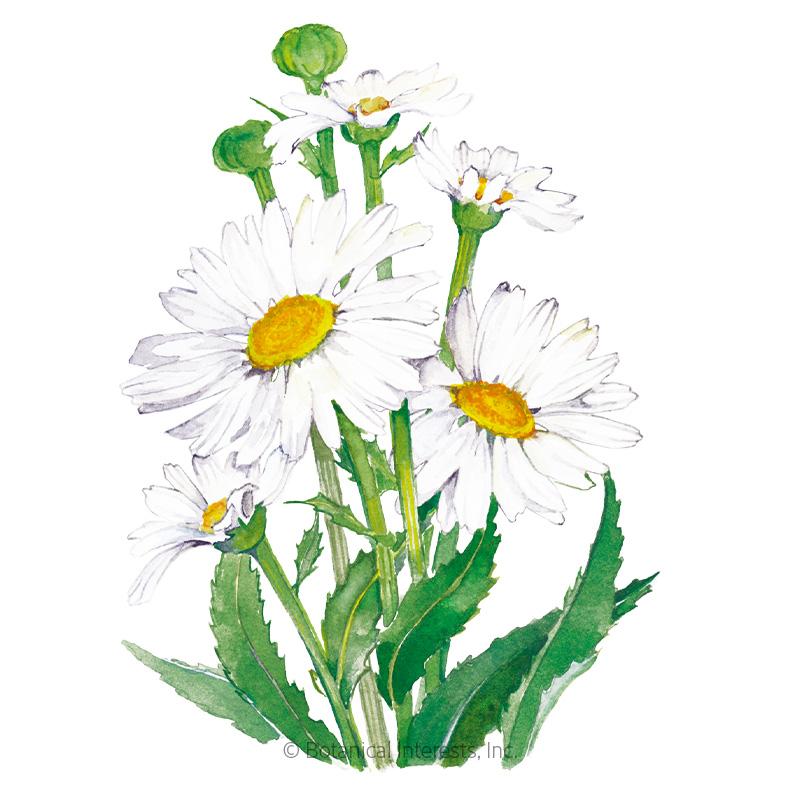 Alaska Shasta Daisy Seeds