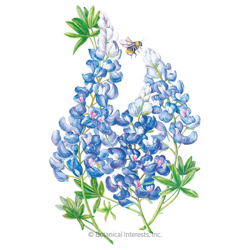 Bluebonnet Seeds