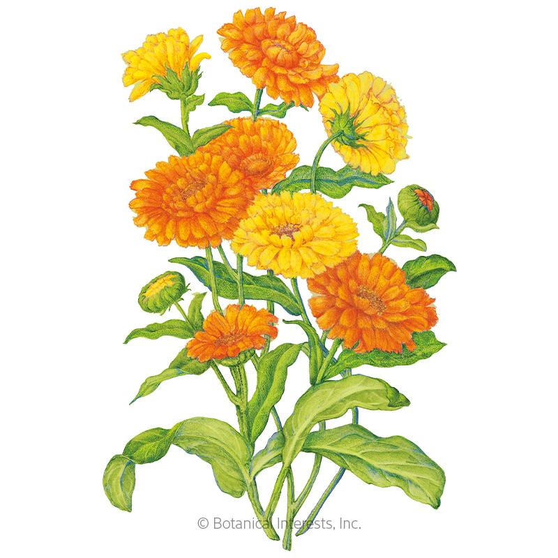 Pacific Beauty Blend Calendula (Pot Marigold) Seeds
