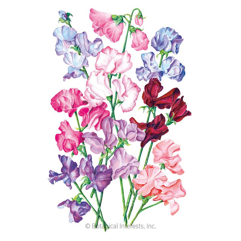 Bouquet Blend Sweet Pea Seeds