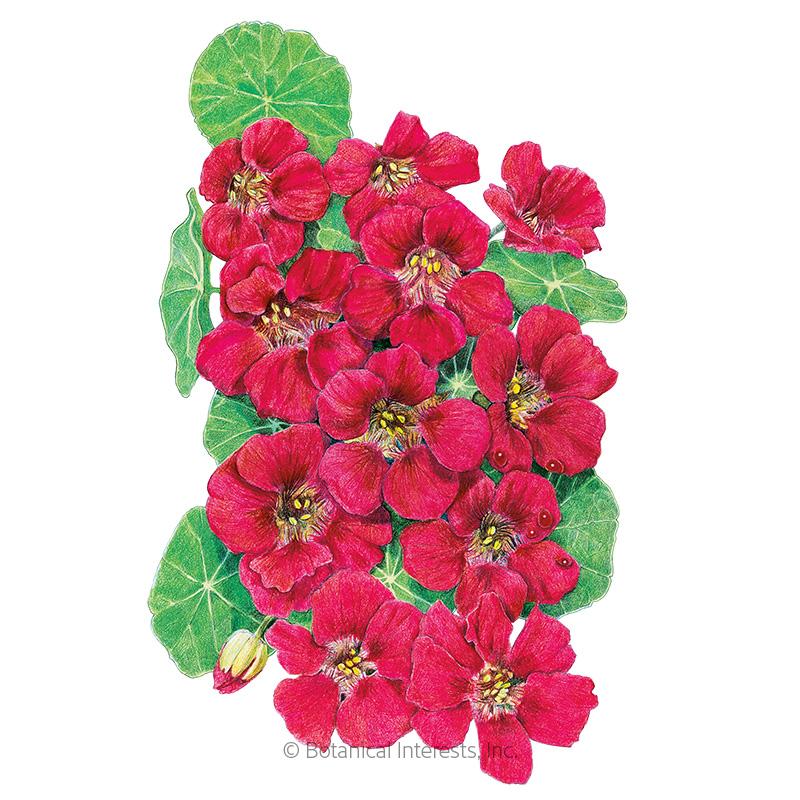 Cherry Rose Jewel Nasturtium Seeds