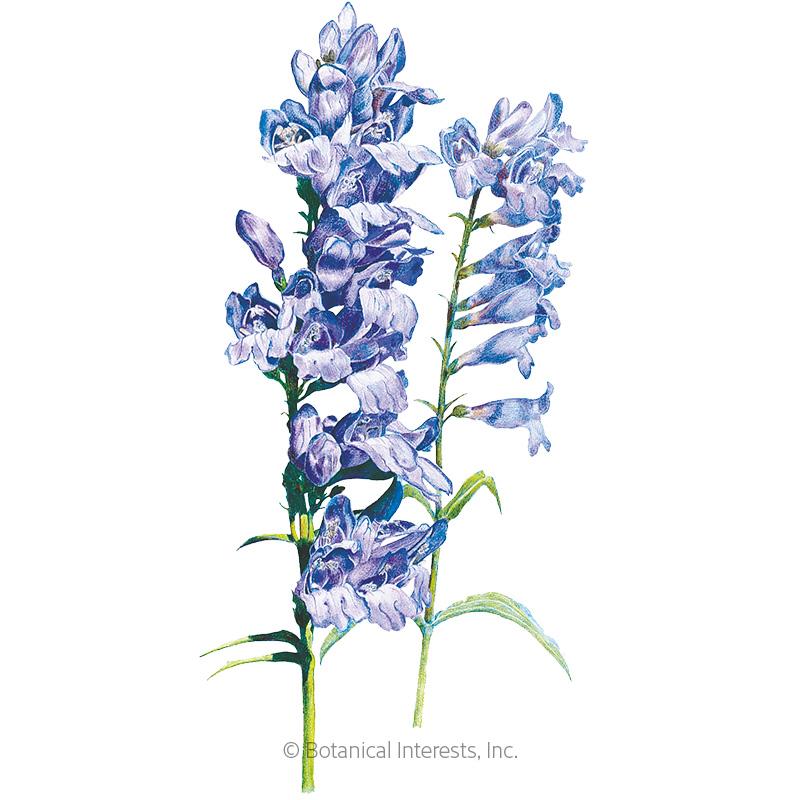 Rocky Mountain Blue Penstemon Seeds