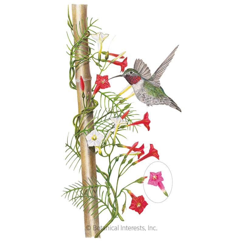 Funny Valentine Blend Cypress Vine Seeds