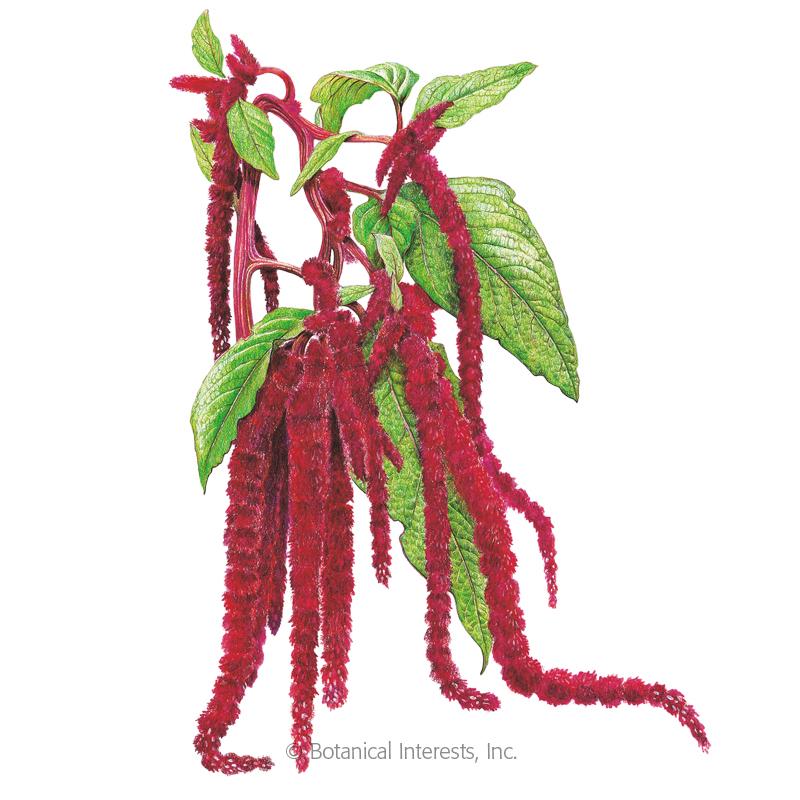 Love-Lies-Bleeding Amaranth Seeds