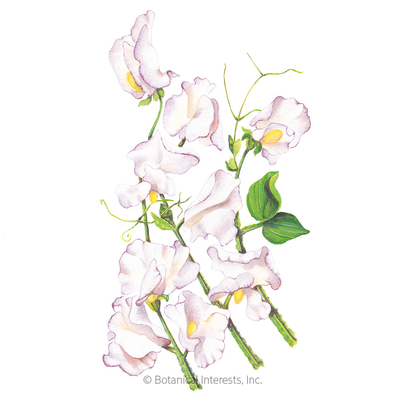 High Scent Sweet Pea Seeds