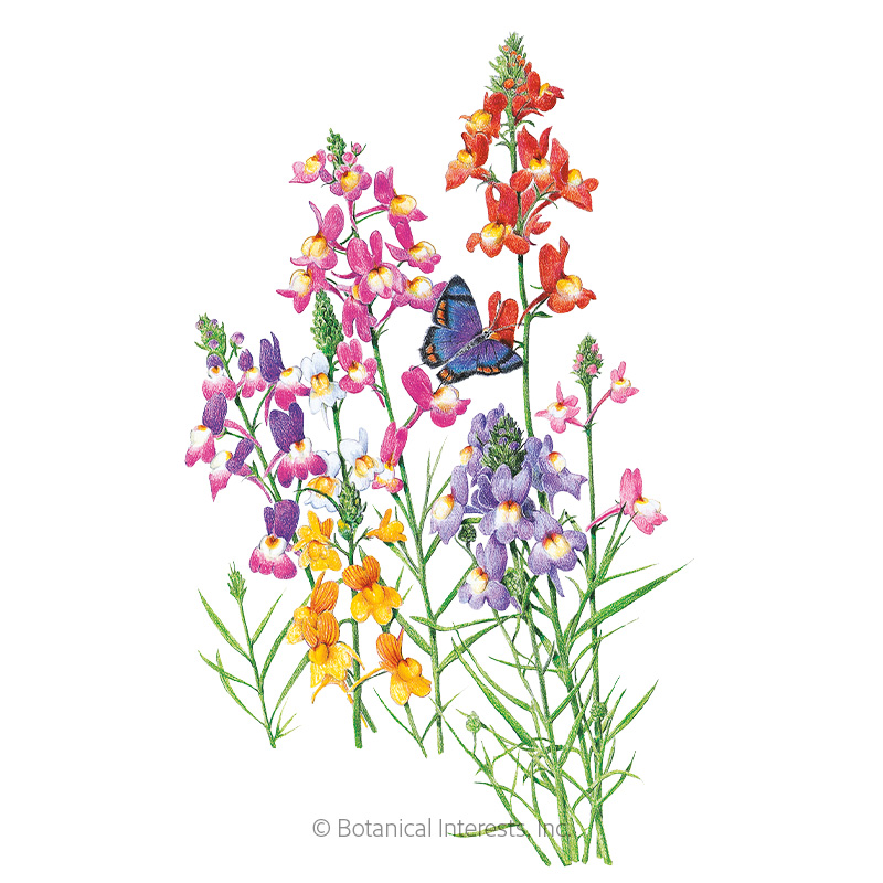 Fairy Bouquet Linaria Seeds