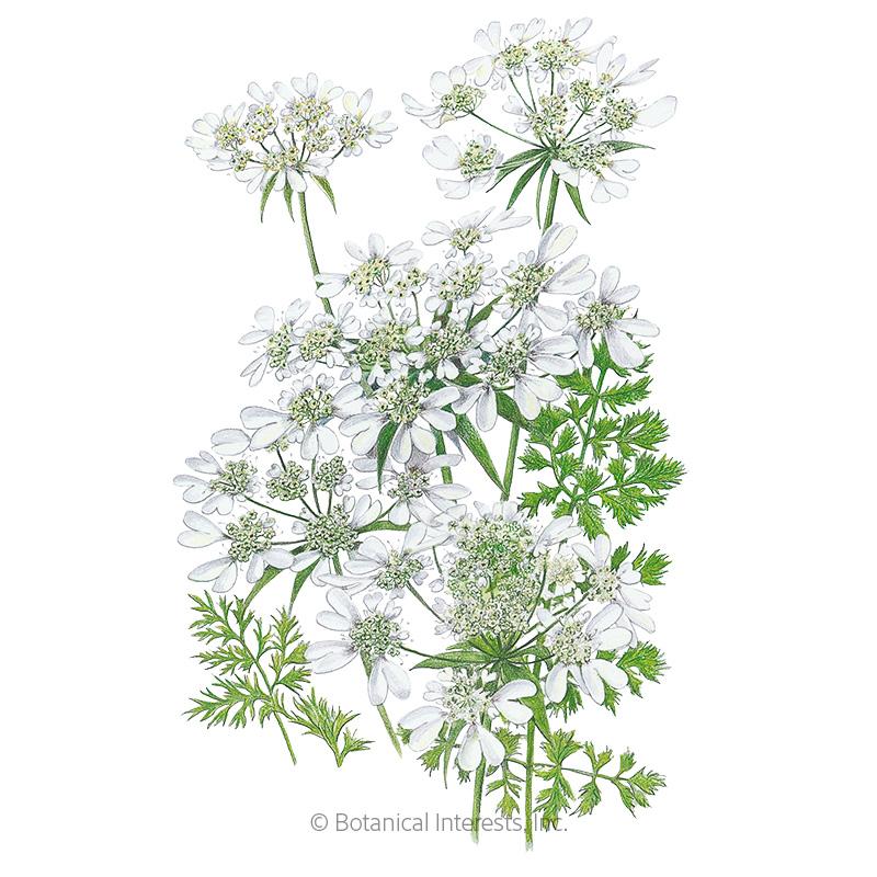 White Lace Orlaya Seeds