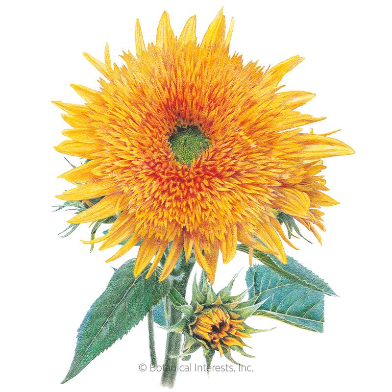 Goldy Honey Bear Sunflower Seeds