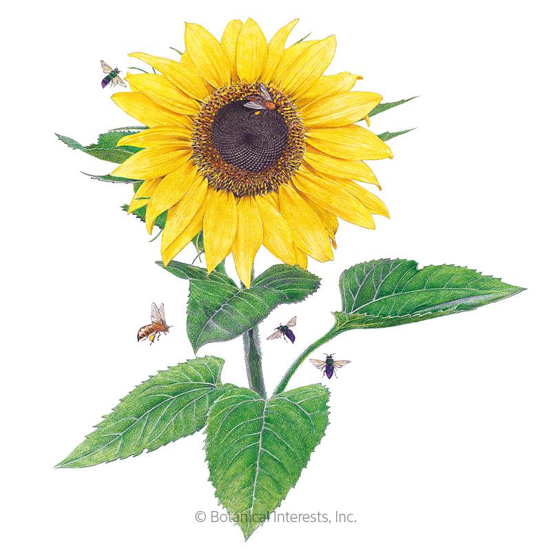 Lemon Queen Sunflower Seeds