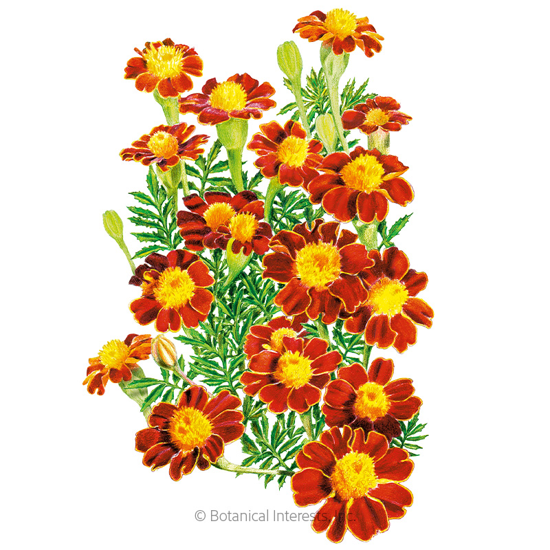 Red Metamorph French Marigold Seeds