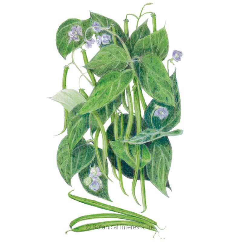 Contender Bush Bean Seeds