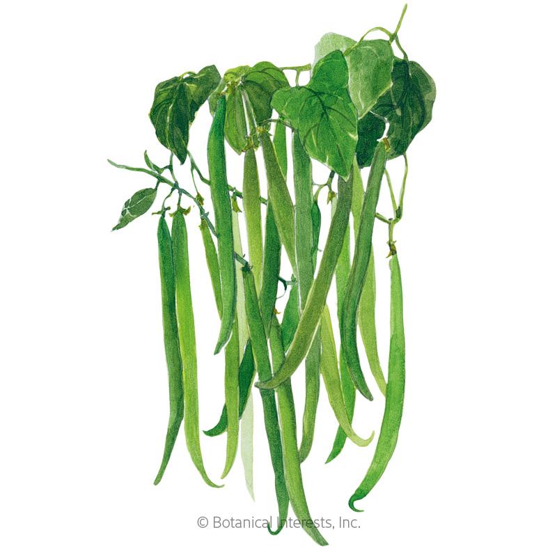 Tavera Filet Bush Bean Seeds