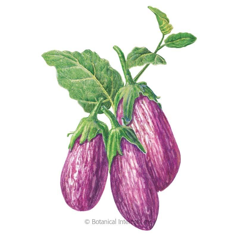 Listada de Gandia Eggplant Seeds