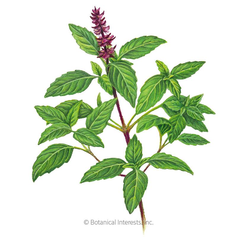 Sweet Thai Basil Seeds