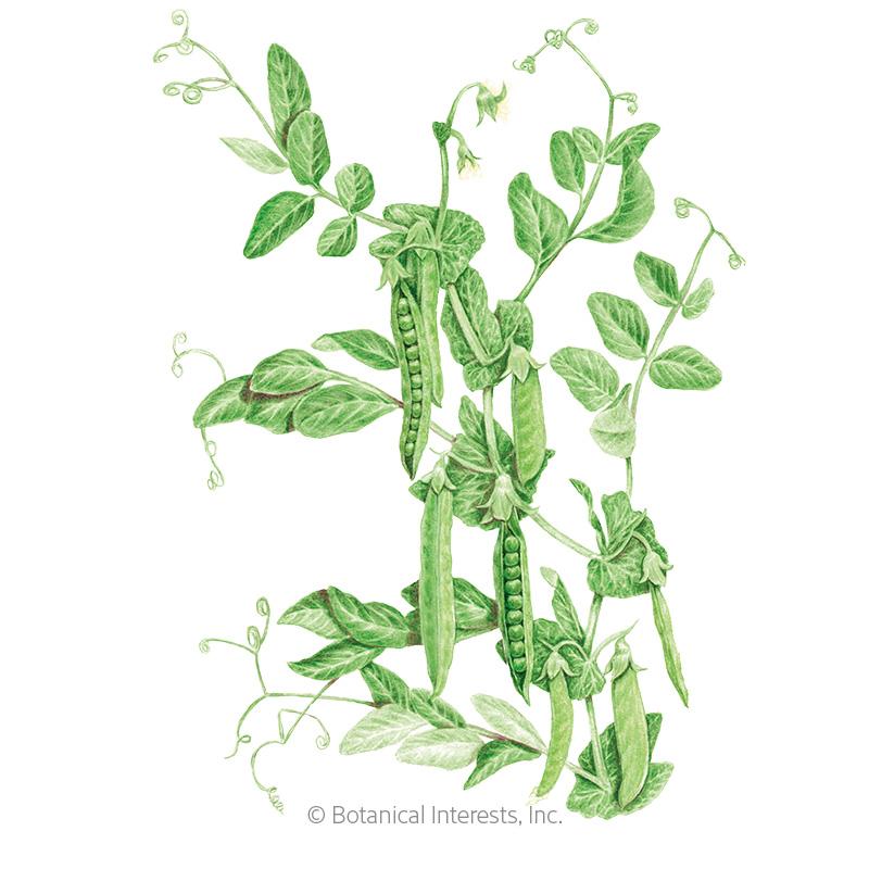 Green Arrow Shelling Pea Seeds