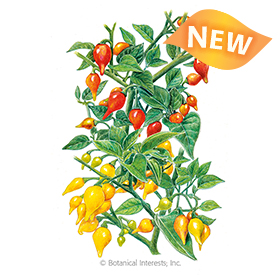 Red and Yellow Blend Biquinho Chile Pepper Seeds