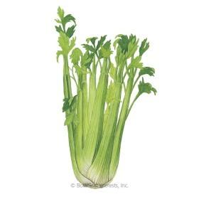 Utah Celery Seeds