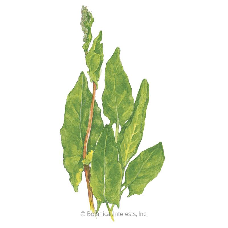 Common Sorrel Seeds