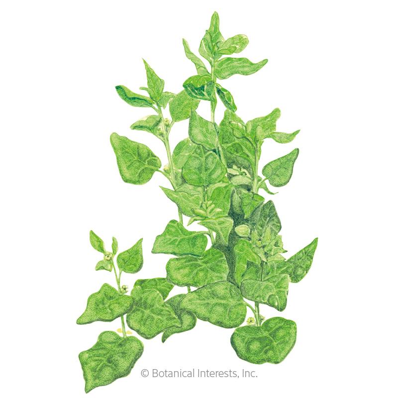 New Zealand Spinach Seeds - Online Exclusive
