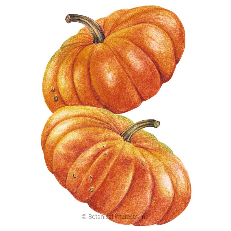 Cinderella Pumpkin Seeds