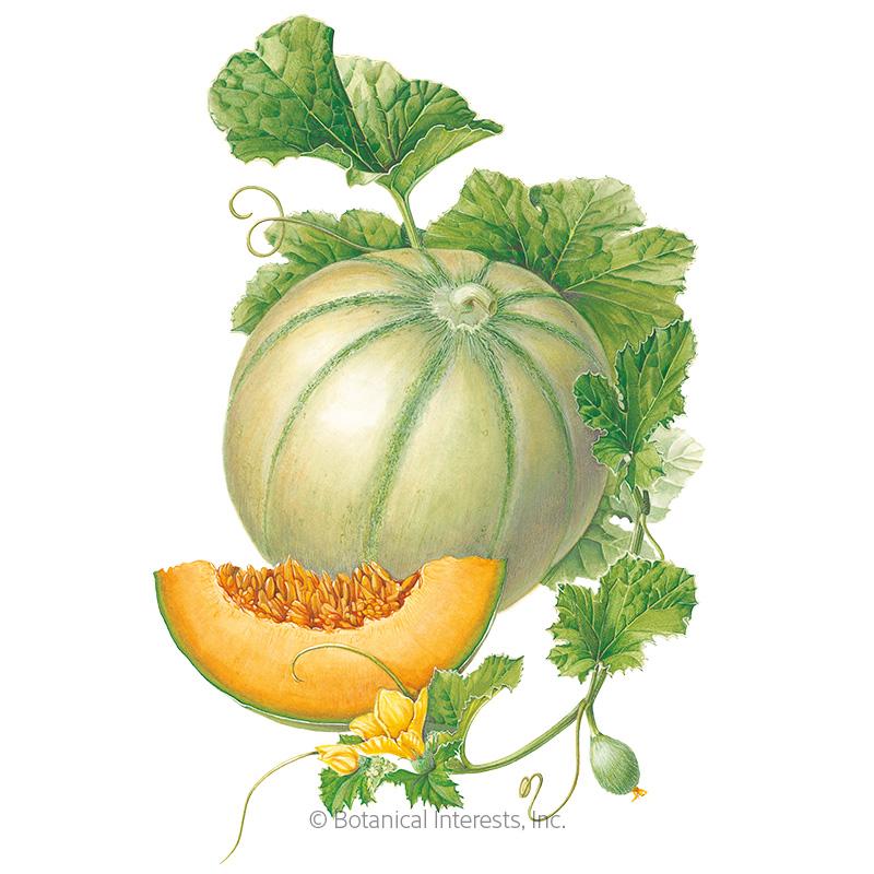 Charentais Cantaloupe Melon Seeds