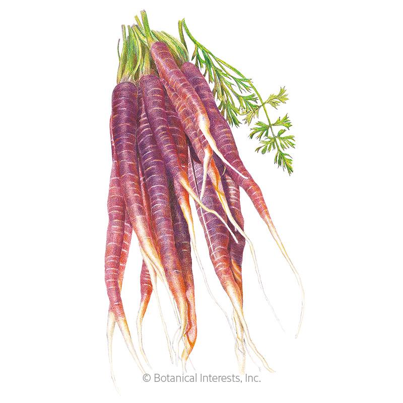 Cosmic Purple Carrot Seeds