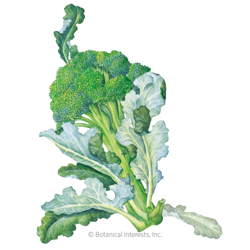 Waltham 29 Broccoli Seeds