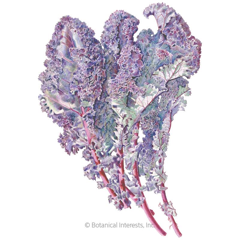Redbor Kale Seeds - Online Exclusive