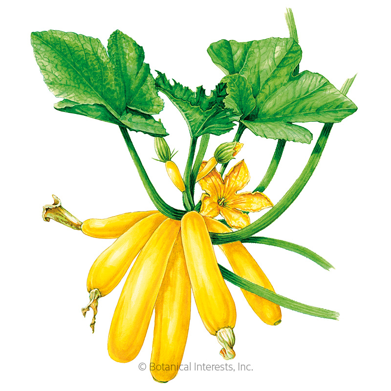 Max's Gold Summer Squash Seeds