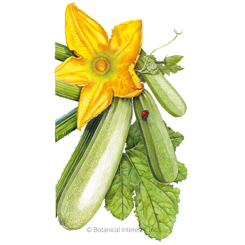 Dirani Summer Squash Seeds