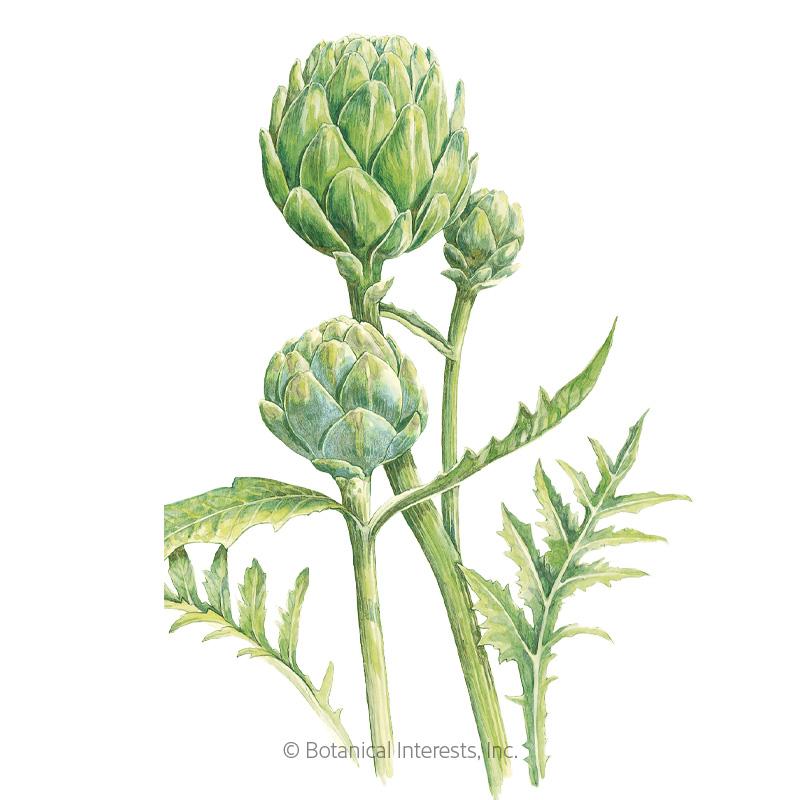 Green Globe Improved Artichoke Seeds