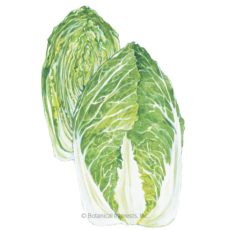 One Kilo Slow Bolt Napa Cabbage Seeds