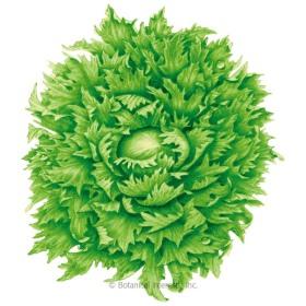 Ice Queen (Reine des Glaces) Summer Crisp Lettuce Seeds