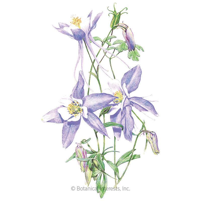 Rocky Mountain Blue Columbine Seeds
