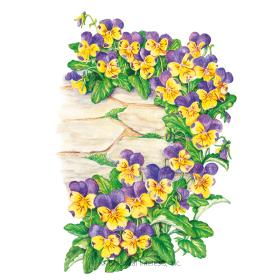 Johnny-Jump-Up Viola Seeds