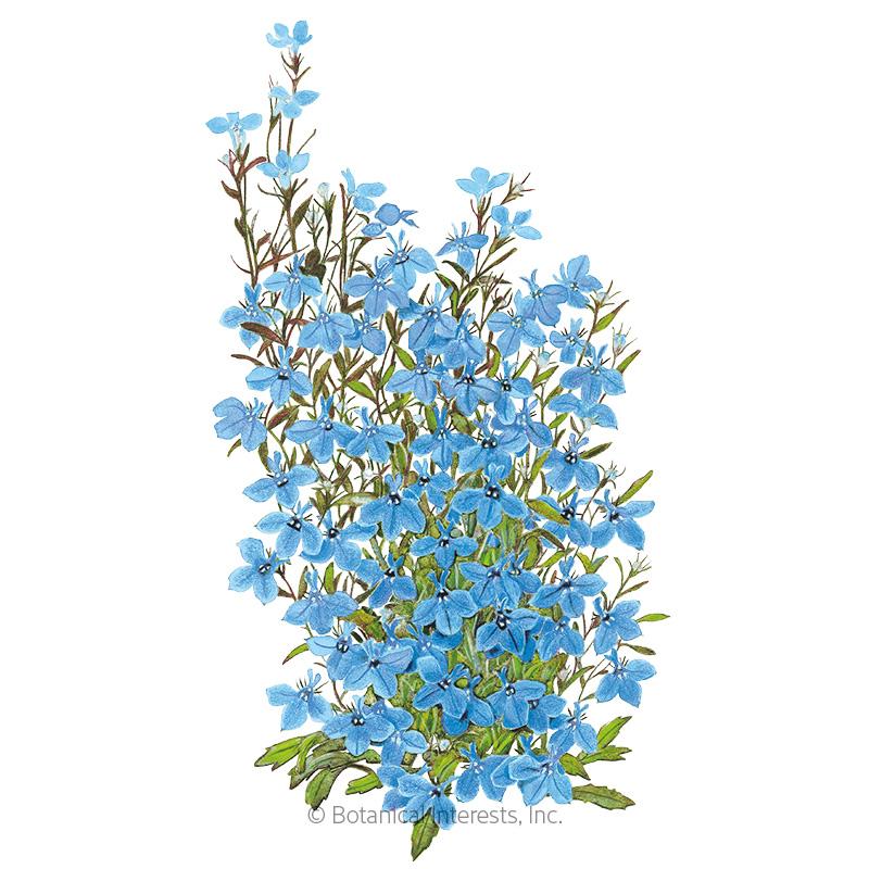 Cambridge Blue Lobelia Seeds