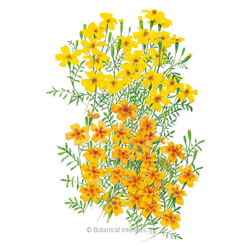Lemon & Tangerine Gems Signet Marigold Seeds