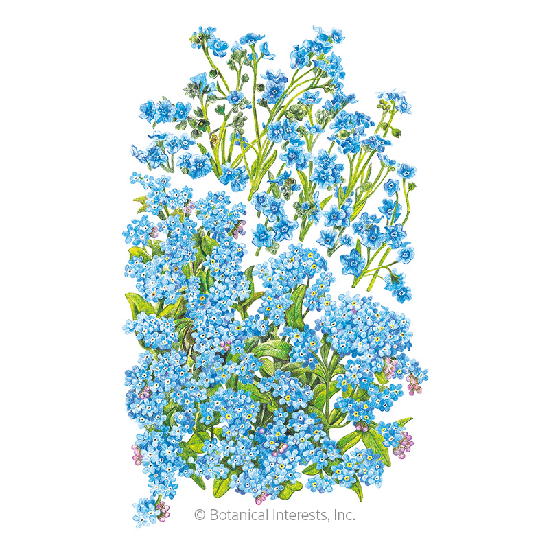 Spring and Summer Forget-Me-Not Seeds