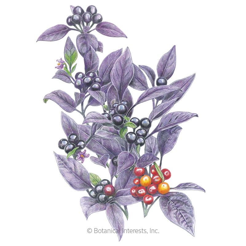 Black Pearl Ornamental Pepper Seeds     - Online Exclusive