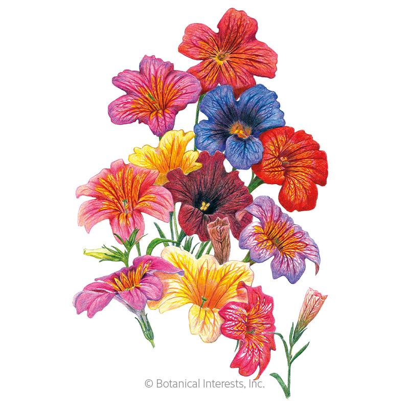 Superbissima Blend Salpiglossis Seeds