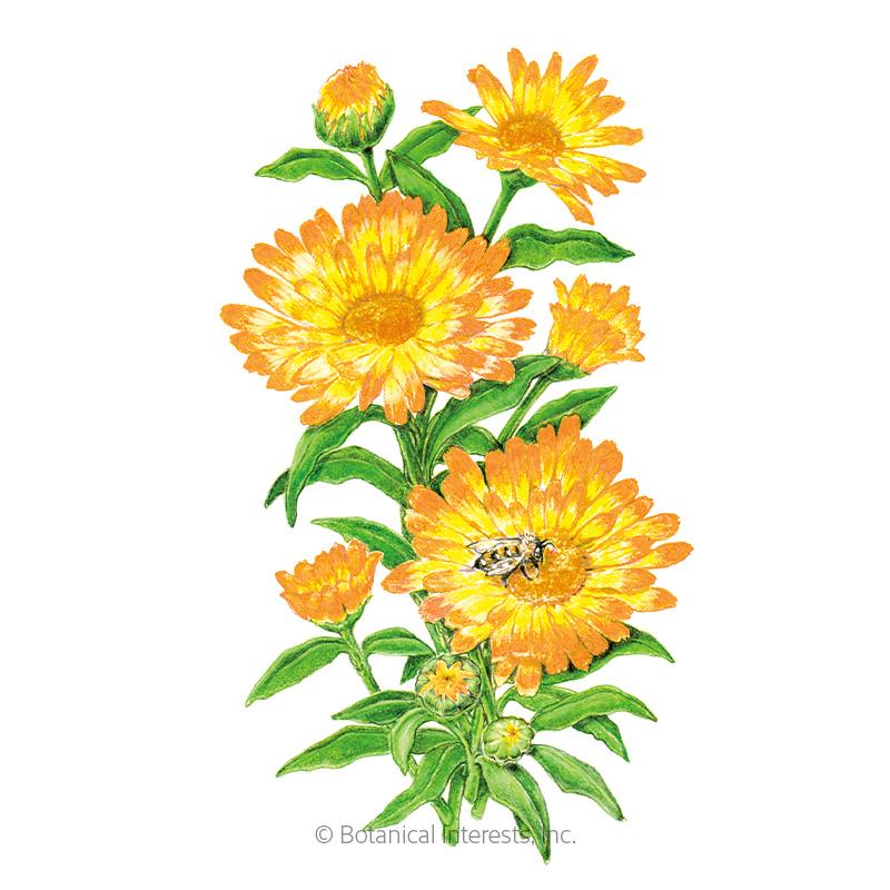 Oopsy Daisy Calendula (Pot Marigold) Seeds