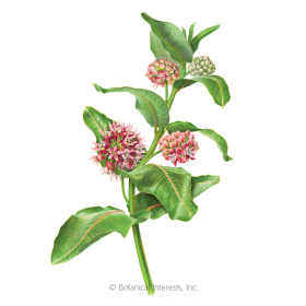 Showy Milkweed/Butterfly Flower Seeds