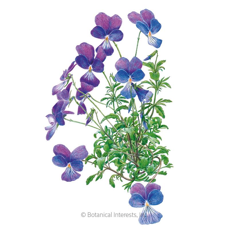 Corsican Violet Viola Seeds