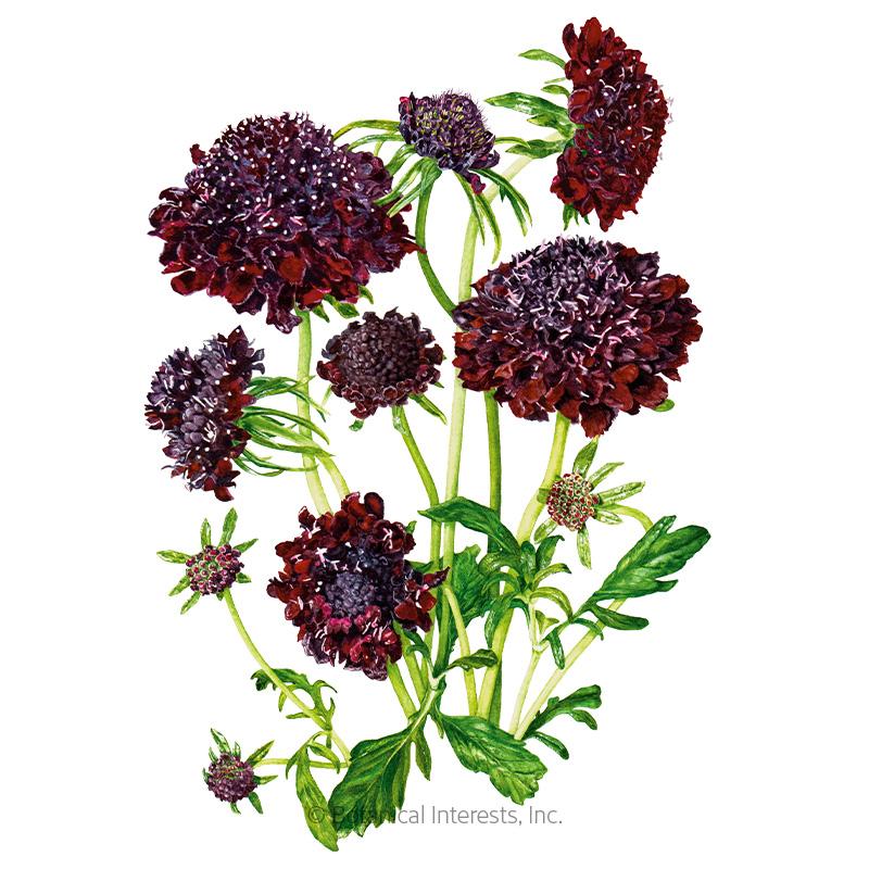 Black Knight Scabiosa Pincushion Flower Seeds