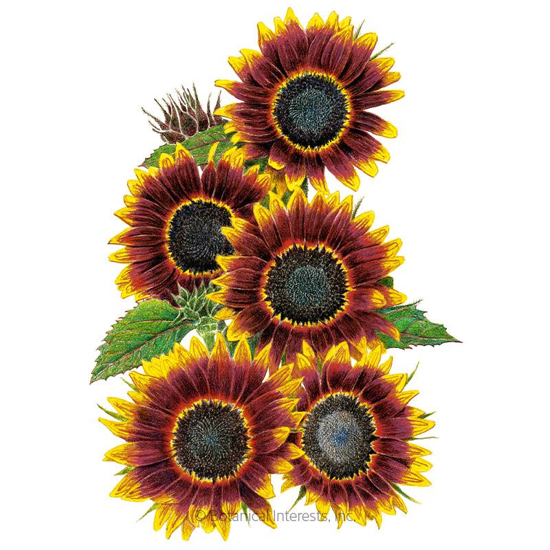 Shock-O-Lat Sunflower Seeds