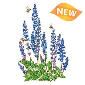 Violet Queen Salvia Seeds