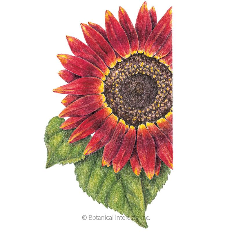 Evening Sun Sunflower Seeds