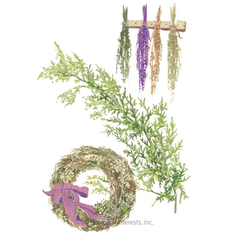 Sweet Annie Seeds       - Online Exclusive